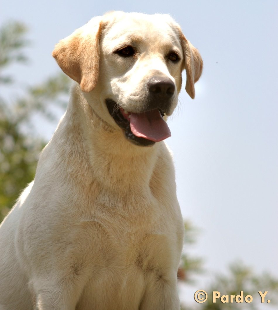 כלבים בוגרים למכירה