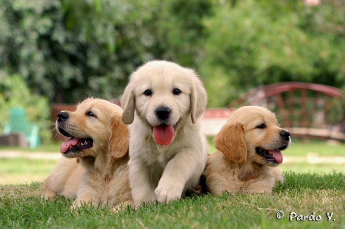 כולם חדשים גורים למכירה בכלביית אפיקים | בית גידול מובחר | עם אילוף או ללא אילוף TG-44