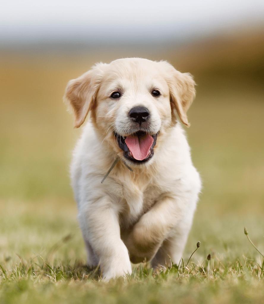 חינוך גורי כלבים