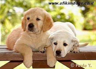 מאוד גורים למכירה בכלביית אפיקים | בית גידול מובחר | עם אילוף או ללא אילוף SH-11